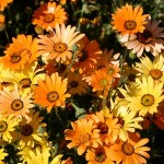 Types of Daisy Flowers