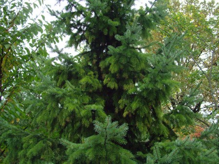 types of evergreen trees  types of everything, Natural flower