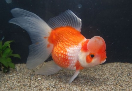 Red fantail goldfish lifespan - photo#2