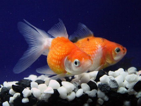 what do goldfish eggs look like in a fish tank. what does goldfish eggs