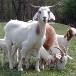 Types of Goats