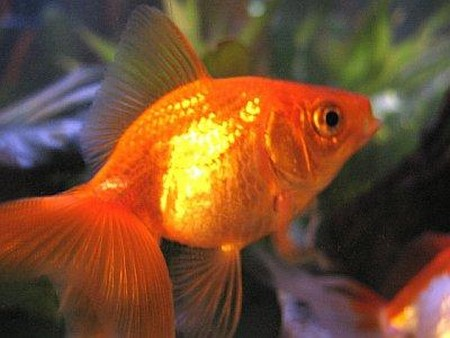 Types of goldfish types of everything for How long do fish stay pregnant