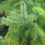 Types of Pine Trees