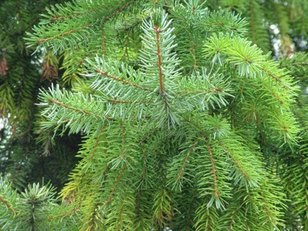 List Types of Pine Trees http://www.typesofeverything.com/types-of-pine-trees/