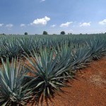 Types of Agaves
