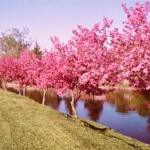 Types of Crabapple Trees