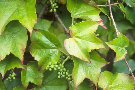 Different Types Of Ivy Vines Healthy Hesongbai