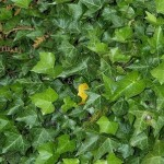 Types of Ivy