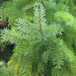 Types of Pine Trees